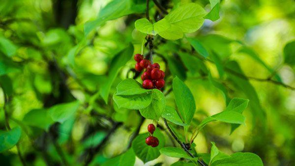 Bacche fresche di schisandra